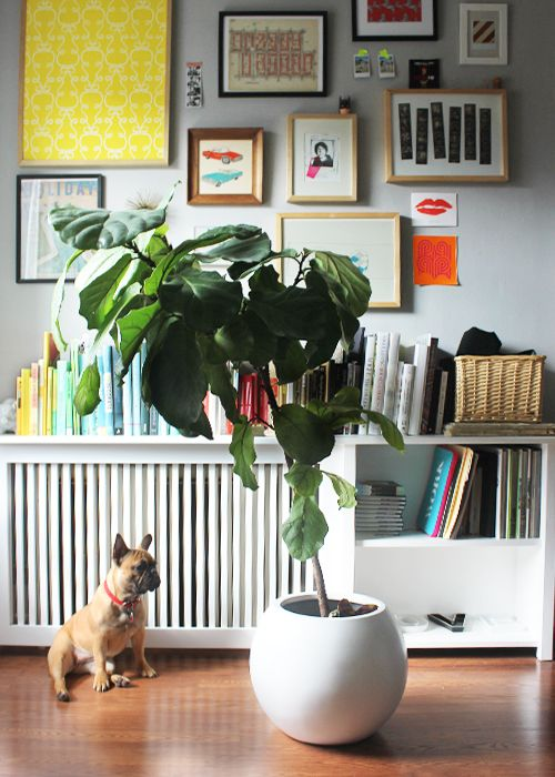The fiddle leaf fig tree in our bedroom is stressed.