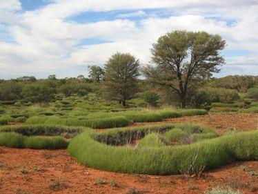 australian desert plants - Google Search