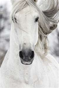 white horses: Beautiful Horses, Magic Hors White, Grey Hors, White Horses, Gorgeous Hors, Beautiful Creatures, Animal, Hors Photo, Snow White