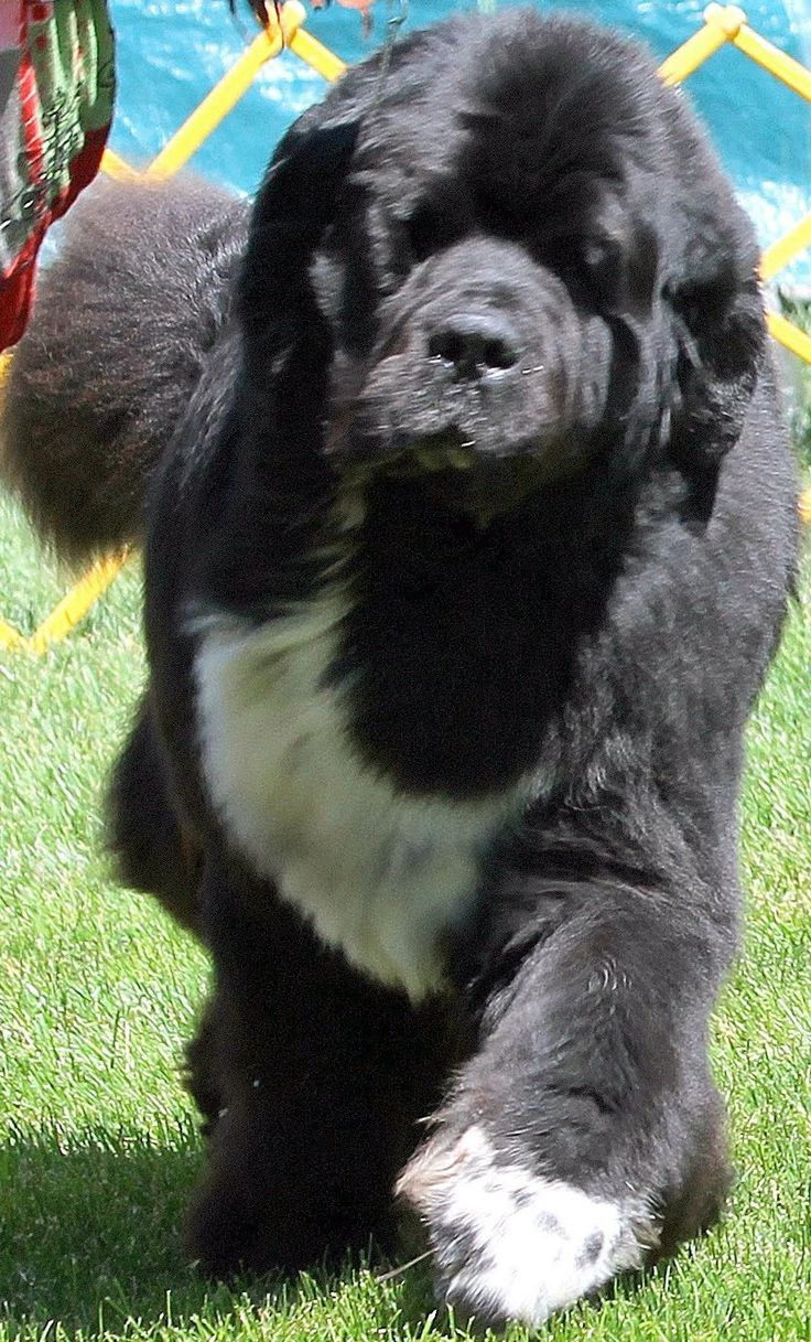 Pin by David on My Newfies Lab dogs, Newfoundland