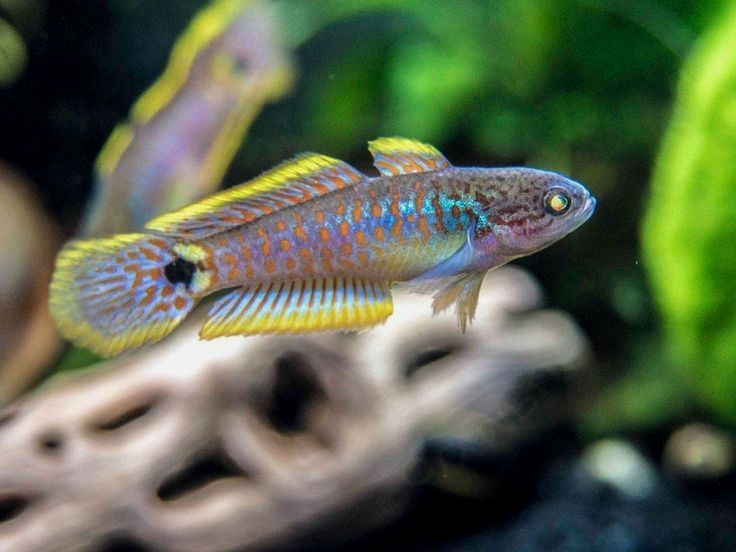 9 59 For The Safety Of Our Animals We Now Ship Live Fish Exclusively Via Ups Next Day Air If Your In 2020 Tropical Fish Aquarium Aquarium Fish Freshwater Fish