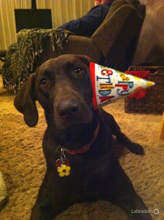 Happy Birthday Dog Lab Dog Birthday Labrador Cute Animals