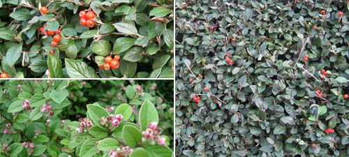 Cotoneaster Franchetii Small White Pink Tinged Flowers In June Are Followed By Orange Red Berries Oval Grey Green Leaves Beneath Semi Eve