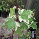 Growing English Ivy – How To Care For English Ivy Plant