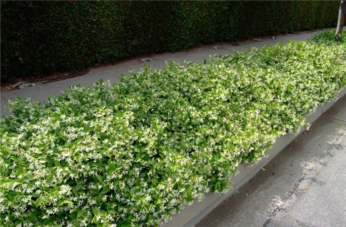 star jasmine as a ground cover for retained wall to side of house if you want to go exotic and are happy to maintain to ground   spacing = 500mm