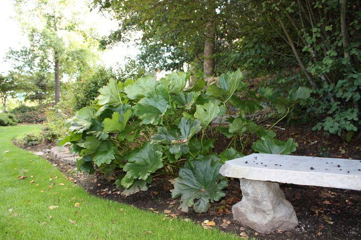 Umbrella Plant, Indian Rhubarb (Darmera peltata)