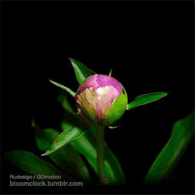 Bloomclock | Flowers gif, Blooming flowers, Beautiful flowers