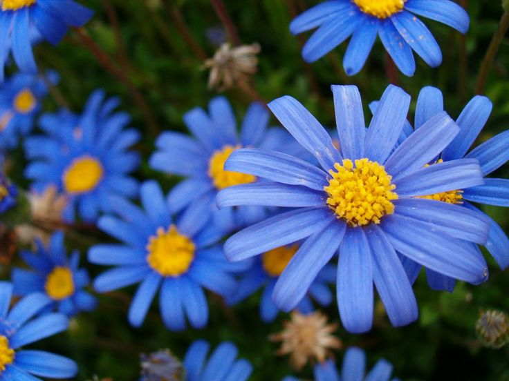 Blue Aster Flowers | blue aster photo courtesy of morguefile.com