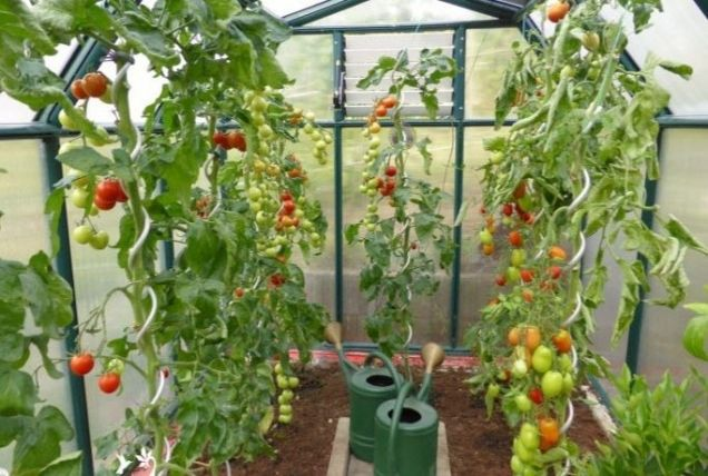 Пустоцвет на помидорах - Садоводка