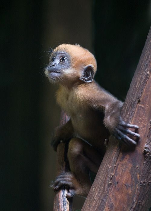 François' langur, also known as Francois' leaf monkey. The species is distributed from Southwestern China to northeastern Vietnam. The total number of wild individuals is unknown, but there are believed to be less than 500 left in Vietnam and 1,400–1,650 in China. The species is named after Auguste François (1857–1935) who was the French Consul at Lungchow in southern China.