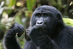 Passage To Africa - Bwindi - Uganda #Gorillas