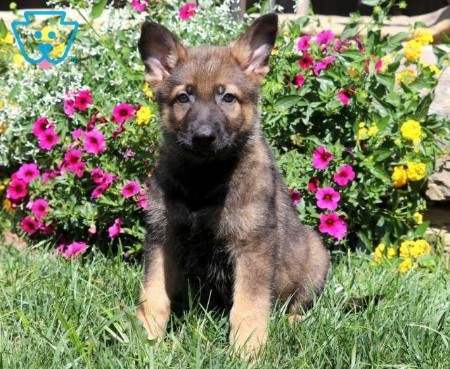 Get A New Puppy Today View Our Adorable Newborn Puppies German