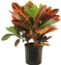 Discover how to keep croton plants colorful leaves vibrant. Get house plant care of croton plant, how to water, fertilize and more.