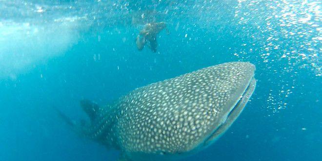 Šnorchlování se žralokem velrybím – ostrov Mafia