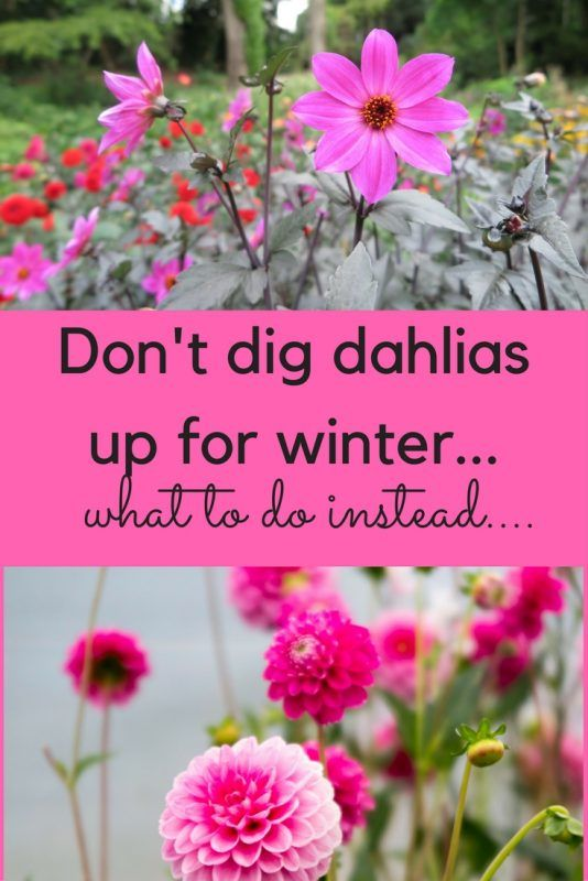 Don't dig up dahlias for winter! What to do instead….