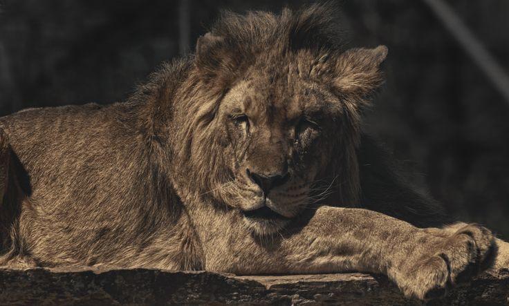 Sleepy lion by TasosKDs on 500px