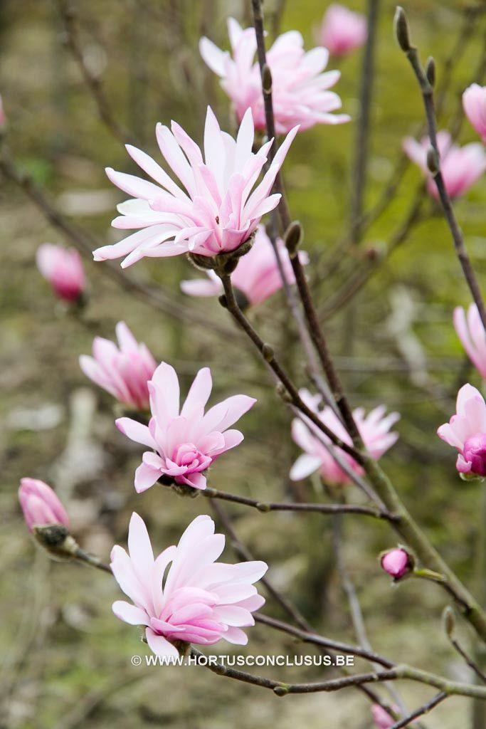 Magnolia stellata 'Jane Platt' - Heester - Hortus Conclusus - 2