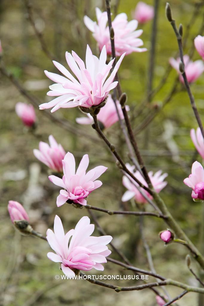 141 best images about magnolien on pinterest sweet sixteen livingstone and memories. Black Bedroom Furniture Sets. Home Design Ideas