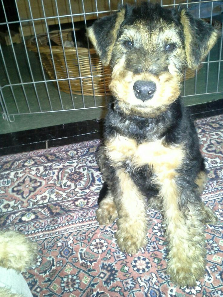 107 besten Welsh Terrier Bilder auf Pinterest | Welsh terrier ...