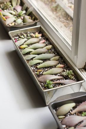How-To Propagate Succulents with their Leaf Cuttings