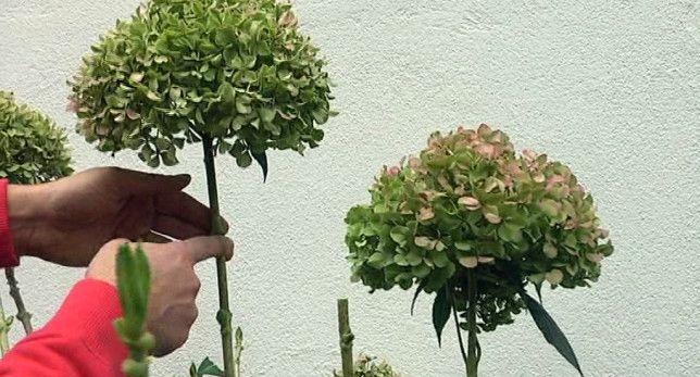 Poda de hortensias