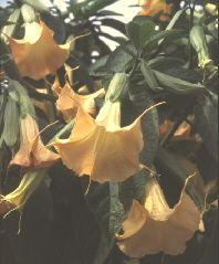 Kübelpflanzen werden jetzt nach und nach ausgeräumt. Bei Nachtfrostgefahr kann man sie ans Haus ziehen oder mit Vlies o. a. schützen. http://www.gartensaison.de/garten/kuebelpflanzen-ueberwintern.htm