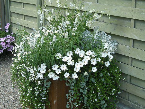 Vita blommor och silvriga blad: sommarljus, daggsalvia, lobelia, snöflinga, stjärnöga, silverek och silvernjurvinda Foto: Bernt Svensson