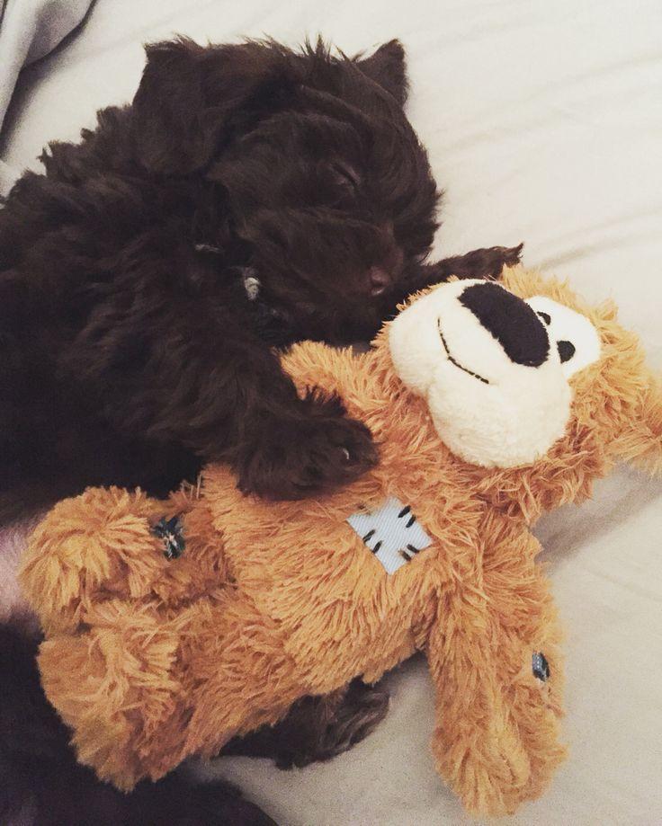chocolate maltipoo puppies - photo #30
