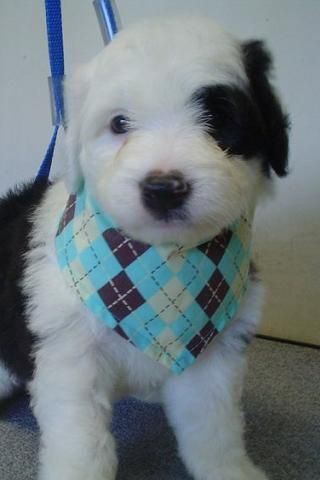 How Much Coffee Is In Ak Cup >> 17 Best images about Sheepadoodle Puppies on Pinterest ...