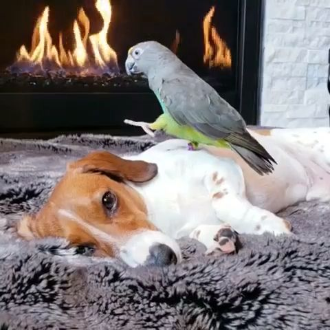 Dachshunds and Parrot