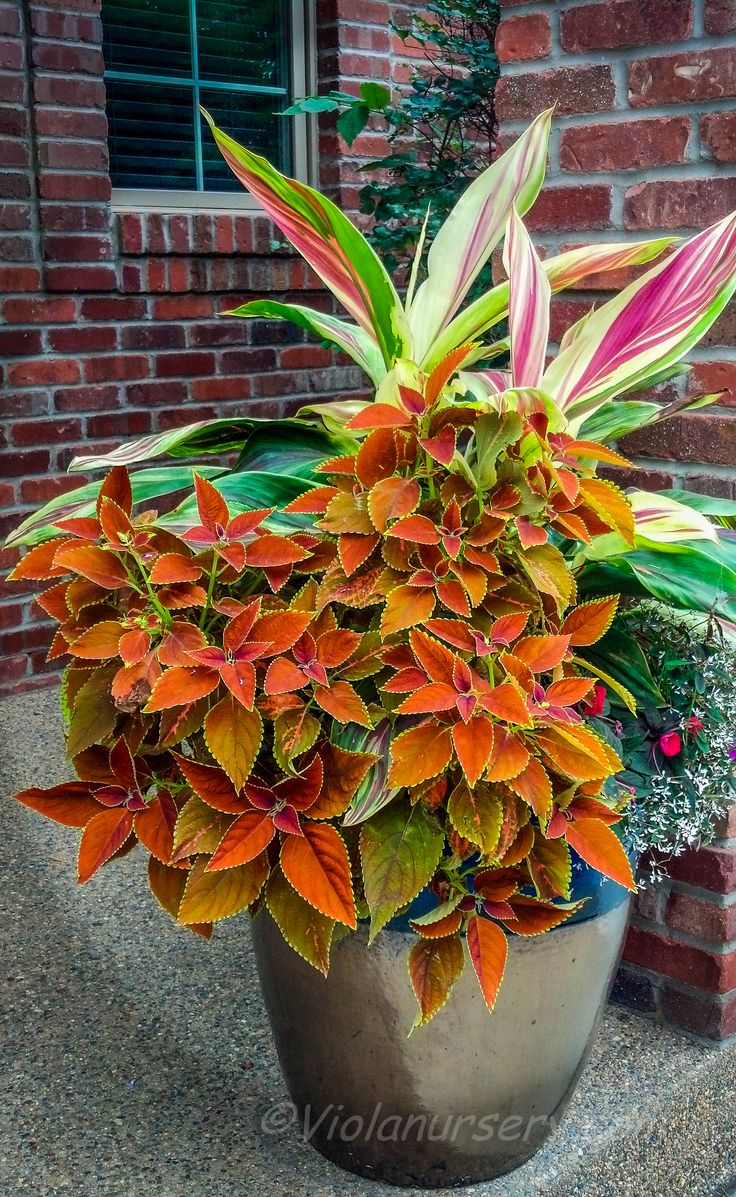 382 best images about coleus on pinterest gardens fall containers and container gardening. Black Bedroom Furniture Sets. Home Design Ideas
