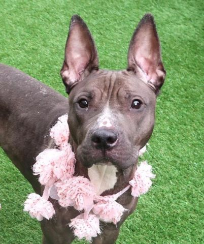 """KNIX - A1114495 - - Manhattan  TO BE DESTROYED 06/14/17  A volunteer writes: """"Pretty Woman"""" would certainly describe Knix if she was a human. She is indeed so feminine looking. Her coat might be patchy but it is so silky. Her body is slender and elegant. Her eyes are velvety and intense. And those ears..She reminds me of a Pharaoh Hound. Knix was brought to us as her owner left for out of state. Nobody could care for her anymore.. Although Knix tries to make the"""