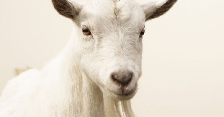 Como construir uma cerca elétrica para cabras usando vigas. Uma cerca elétrica portátil que usa vigas fixadas serve também como uma opção para manejo das cabra para os proprietários, que pretendem mover a cerca regularmente para pastejo ou outros fins. Leves e práticas na colocação, elas vêm com vários equipamentos embutidos ao longo de todas as altura das vigas, para que eles economizem tempo na ...