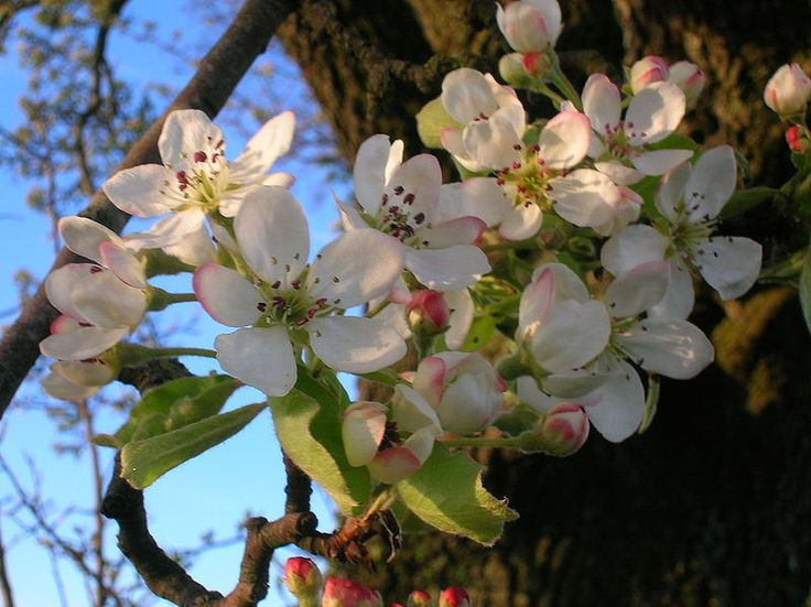 File:Wild Pear Flowers detail.JPG