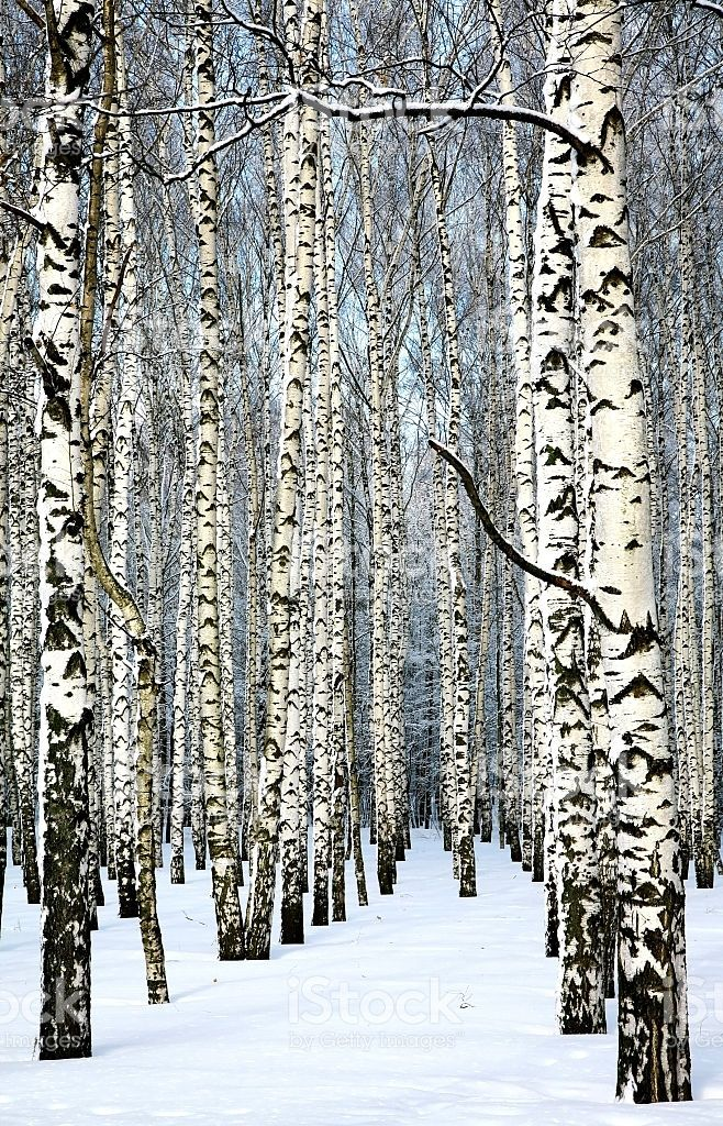 Snow covered trunks of birch trees in sunny weather royalty-free stock photo