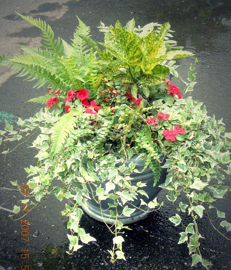 Indian Holly Fern, Variegated Ivy, Impatients, Button Fern, Acuba