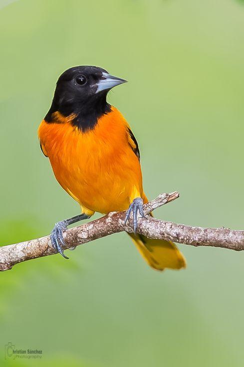 Best 25 Baltimore Orioles Birds Ideas On Pinterest The