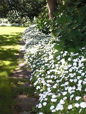 Shade-tolerant white impatiens border. Plant 12 inches apart (measured center to center). The more tightly they are spaced, the taller they will grow. For a deeper, denser border, plant one row offset in front of another, with 10.5 inches between rows. New Guinea Impatiens have better foliage and will tolerate more sun, but are still not full sun plants.  If you can provide a moist soil with some relief from the sun during the hottest hours, they are an excellent border choice.
