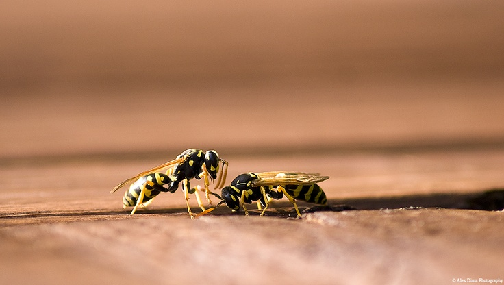 A symbolic picture with a hornet kneeling in front of her Queen.