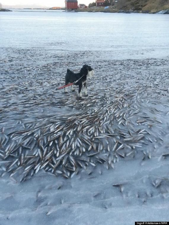 It was awfully cold in Lovund, Norway, last weekend. So cold, in fact, that a school of herring that strayed too close to shore apparently froze in place. Ryan Grenoble /// image: Ingolf Kristiansen