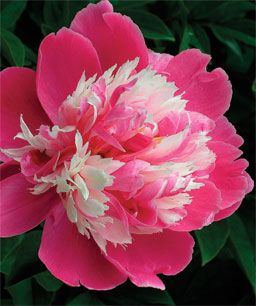 Peony - 'Rare Flower of Frost Dew' is a late-blooming Chinese variety with skyward-facing, intensely fragrant blooms, herbaceous, 3 feet tall and 2 feet wide; 5-6 inch diameter blooms.