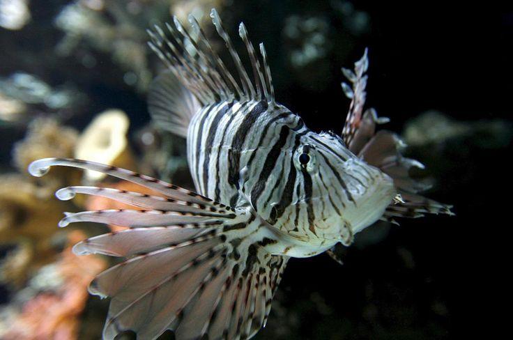 El pez mero y el pez león: una lucha que podría eliminar a una de las dos especies