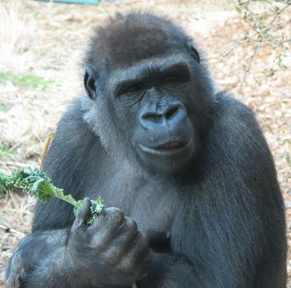 Uma gorila das montanhas, fêmea. Há 2 populações deste gorila. Uma é encontrada nas montanhas vulcânicas Virunga da África Central. O outro é encontrado no Parque Nacional do Uganda Bwindi Impenetrable. Em 2010, havia cerca de 790 gorilas de montanha do mundo. Eles estão criticamente em perigo.
