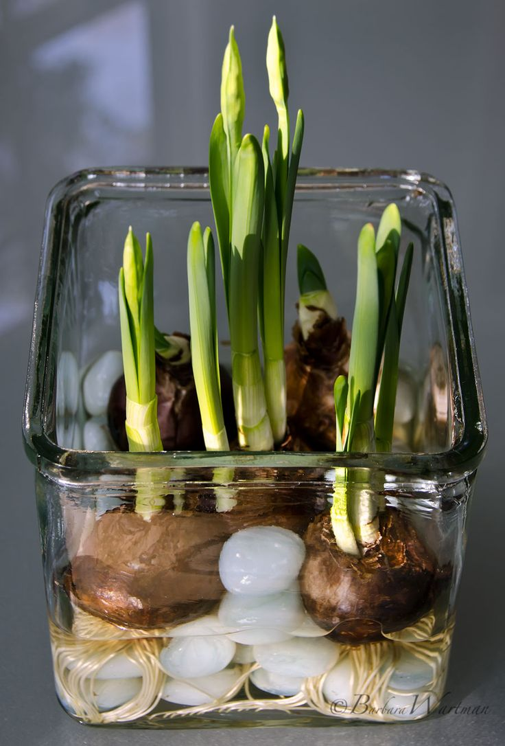 Want some beautiful blooms in your home over the holiday season?: How To Force Bulbs, It's Easy!