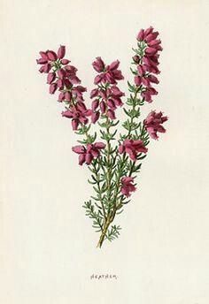 Erica flower