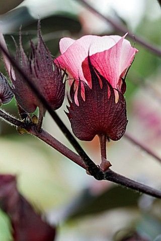 Gossypium herbaceum 'Nigra' - Black Cotton Plant...wow, is that pretty!! I now have another favorite flower