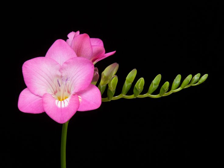 1000+ images about Freesia on Pinterest | Friendship, Fall ...