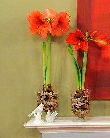 1000 ideas about amaryllis bulbs on pinterest bulbs for Amaryllis bulbe conservation