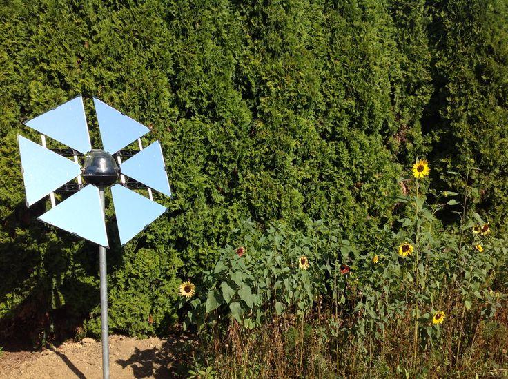 A German Sunflower reflecting sunlight onto a garden