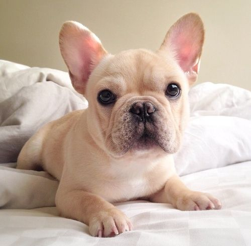 Imagem de french bulldog, perfect, and beautiful